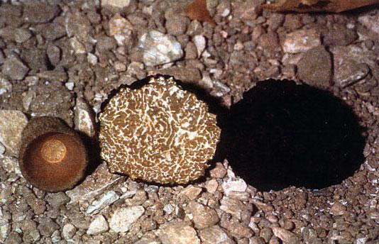 tartufo scorzone nero estivo
