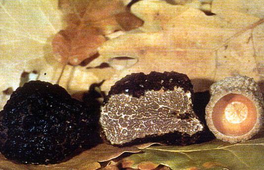 tartufo nero uncinato scorzone invernale